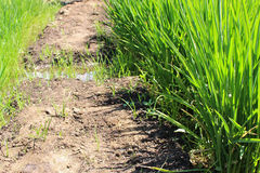 Growing rice Royalty Free Stock Photography