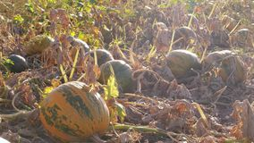 Growing ripe pumpkins on farm field, autumn agriculture stock video footage