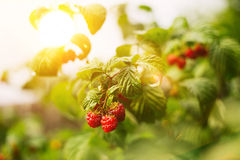 Growing ripe of raspberries Royalty Free Stock Image