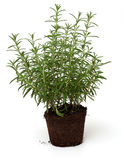 Growing rosemary Royalty Free Stock Image