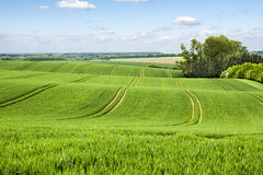 Growing rye Field Royalty Free Stock Photo