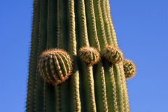 Growing Saguaro Cactus Royalty Free Stock Photos