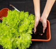 Growing salad at home in a pot on the window. The girl planted a salad in a pot. Selective focus. Copy space stock photo