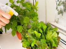 Growing salad at home in a pot on the window. Girl watering salad. Selective focus. Copy space royalty free stock image