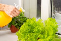 Growing salad at home in a pot on the window. Girl watering salad. Selective focus. Copy space stock images