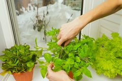 Growing salad at home in a pot on the window. Woman cuts off lettuce leaves. Selective focus. Copy space royalty free stock photo