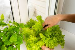 Growing salad at home in a pot on the window. Woman cuts off lettuce leaves. Selective focus. Copy space stock image