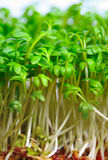 Growing salad mustard cress Stock Photography