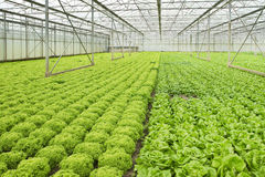Growing salad plants in glasshouse Royalty Free Stock Images