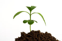 Growing sapling-New life Stock Images