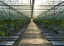 Glasshouses in great britain. Growing  seasonal tomatoe plants in british greenhouse Royalty Free Stock Image