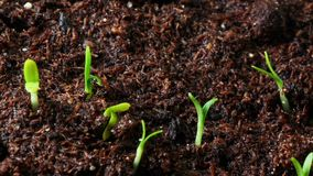 Growing seed of marigold stock video footage