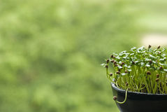 Growing Seed in Pot. New plant growing in the pot Royalty Free Stock Photo