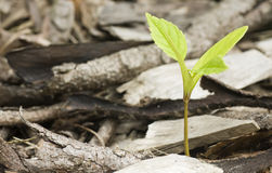 Growing seedling Royalty Free Stock Photography