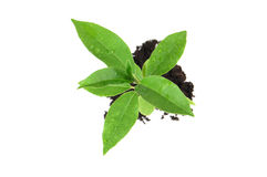 Growing seedling Royalty Free Stock Images