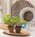 Growing seedlings of decorative liana and aster flower on the wi Stock Photo