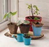 Growing seedlings of decorative liana on the window Royalty Free Stock Photos