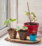 Growing seedlings of decorative liana on the window Stock Image