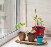 Growing seedlings of decorative liana on the window Royalty Free Stock Photo