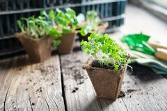 Growing seedlings of garden plants for planting. Growing  seedlings of garden plants for planting, sprouts of arugula on foreground stock images
