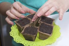 Growing seedlings at home. A woman puts peat pots filled with earth on a tray. Growing seedlings at home. A woman puts peat pots filled with earth on a tray stock photo