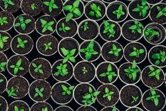 Growing seedlings in peat pots. Plants seeding in sunlight in modern botany greenhouse, top view. Growing seedlings in peat pots. Plants seeding in sunlight in royalty free stock image