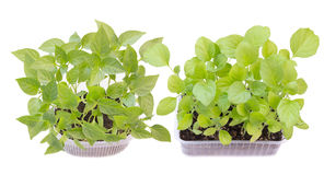Growing seedlings of pepper and eggplant Stock Image