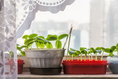 Growing seedlings for spring planting in the garden. At home Royalty Free Stock Images