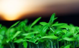 growing seedlings at sunrise- Beginning Of A New Life & x28;plant, gr Stock Photography