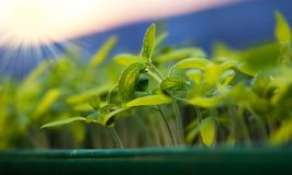 growing seedlings at sunrise- Beginning Of A New Life & x28;plant, gr Stock Image