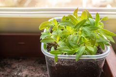 Growing seedlings of tomatoes and peppers on the windowsill in plastic pots. Copy space stock photography
