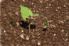 Growing (series 6 of 10). Growing plant in the soil Stock Photos