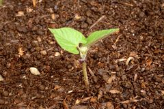 Growing (series 7 of 10). Growing plant in the soil Stock Photos