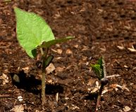 Growing (series 8 of 10). Growing plant in the soil Stock Photo
