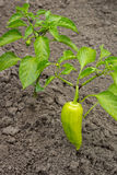 Growing shrub with green sweet peppers paprika. The Bush is watered with the water. Stock Images