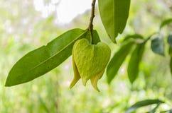 Guanabana Tree Blossom stock photography