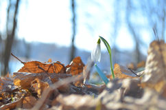 Growing snowdrop in a fores Stock Photo