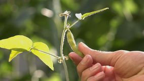 Growing soy in the garden. Soy grows in garden. Soybean pod hang on branch. Farmer`s hand touches gently the fetus. Sun`s rays pass through the soybean pod stock video footage