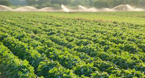 Growing soybean Royalty Free Stock Photo