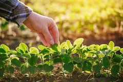 Growing soybean. Female agronomist hand touching young soybean plant in cultivated field stock image