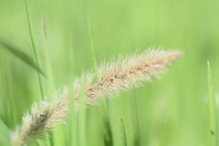 Growing spikelet Royalty Free Stock Photos