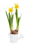 Growing  spring narcissus in decorative small watering can. Isolated over white Stock Photo