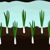 Growing spring onions Stock Image