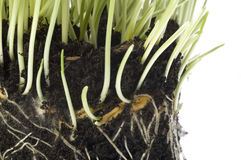 Growing spring plants in soil. Growing plants in soil with rrot sysytem. isolated on the white background Stock Photo