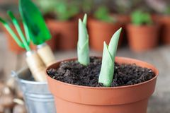 Growing spring tulips in flowerpot. Bucket, shovel, rake and several flower pots with plants in the background. Stock Photography
