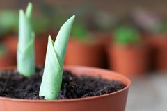 Growing spring tulips in a flowerpot close up. Several flower pots with plants in the background. Stock Photos