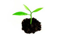 Growing sprout. Against white background royalty free stock photos