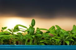 growing seedlings at sunrise- Beginning Of A New Life & x28;plant, gr Royalty Free Stock Photo
