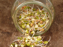 Growing sprouts Royalty Free Stock Photography