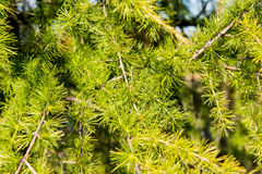 Growing spruce close-up Royalty Free Stock Photos